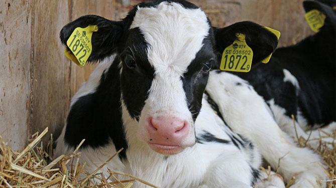 """Lori: chiarire il """"caso per caso"""" in norma europea su taglio corna animali da allevamento"""